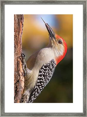 Red Bellied Woodpecker's Toolkit Framed Print by Jim Hughes
