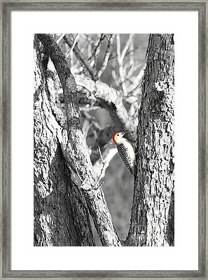 Framed Print featuring the photograph Red-bellied Woodpecker by Benanne Stiens