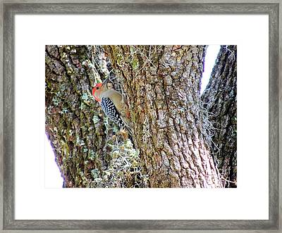 Red-bellied Woodpecker By Bill Holkham Framed Print by Bill Holkham
