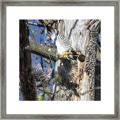 Red Bellied Woodpecker Chasing An Attacking Starling Framed Print