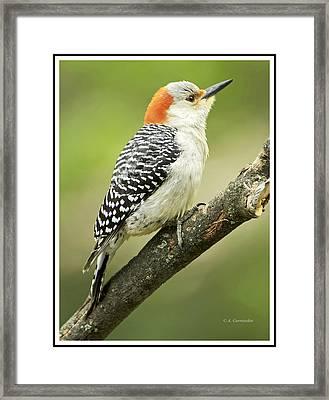 Red Bellied Woodpecker, Female On Tree Branch Framed Print