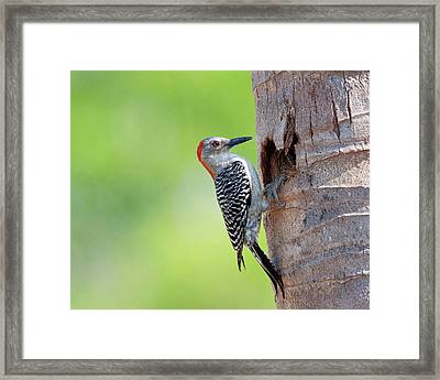 Red-bellied Woodpecker Framed Print by Guillermo Armenteros, Dominican Republic.