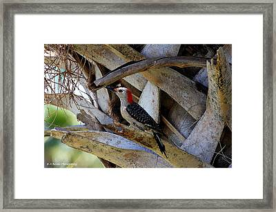 Framed Print featuring the photograph Red-bellied Woodpecker Hides On A Cabbage Palm by Barbara Bowen