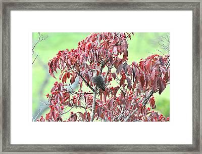 Red Bellied Woodpecker In Dogwood Framed Print by Alan Lenk