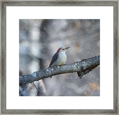 Red-bellied Woodpecker In Snow Framed Print