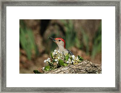 Red-bellied Woodpecker In Spring Framed Print