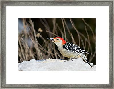 Red-bellied Woodpecker In The Snow Framed Print by Angel Cher