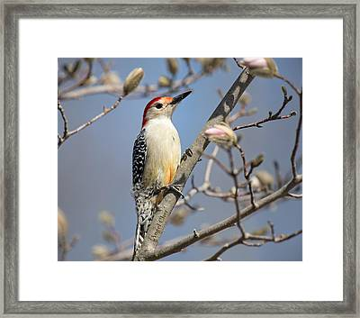 Red-bellied Woodpecker On Magnolia Framed Print by Angel Cher
