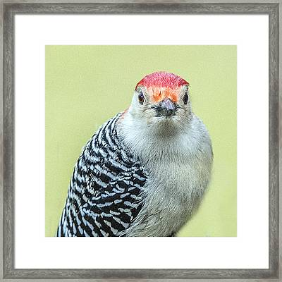 Red Bellied Woodpecker Portrait Framed Print