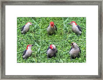 Red-bellied Woodpecker Posing In The Grass Framed Print