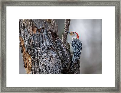 Framed Print featuring the photograph Red Bellied Woody by Paul Freidlund