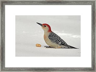 Red Belly Woodpecker In Snow Framed Print by Geraldine Scull