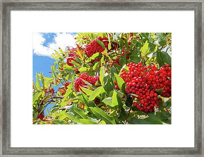 Red Berries, Blue Skies Framed Print