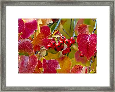 Red Berries Fall Colors Framed Print by James Steele