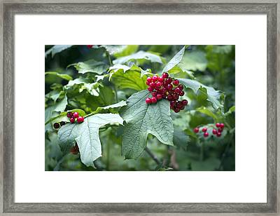 Red Berries Framed Print by Helga Novelli
