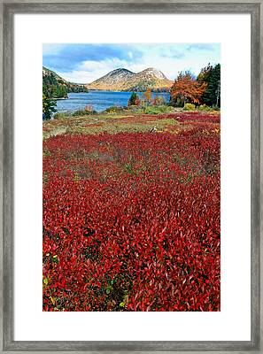 Red Berry Bushes At Jordan Pond Framed Print by George Oze