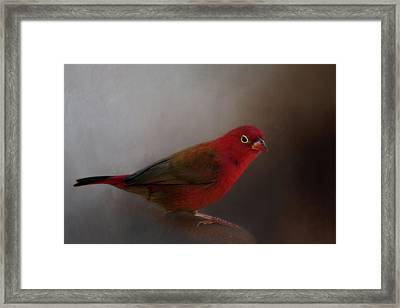 Red-billed Firefinch Framed Print