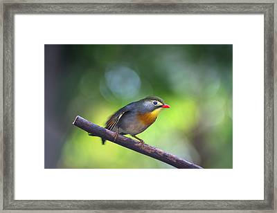 Red Billed Leiothrix Framed Print