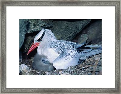Red-billed Tropicbirds Cuddling  Framed Print