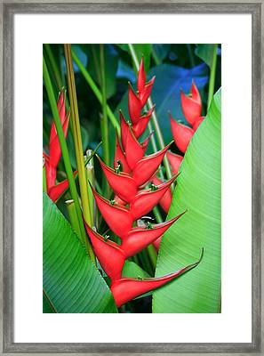 Red Bird Of Paradise Framed Print
