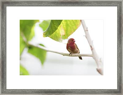Framed Print featuring the photograph Red Bird by Raphael Lopez