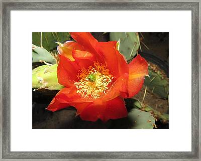 Red Bloom 1 - Prickly Pear Cactus Framed Print