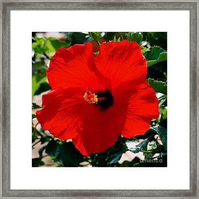 Red Bloomers Framed Print by Paul Anderson