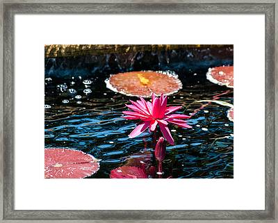 Red Blossom Water Lily Framed Print
