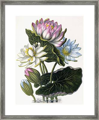 Red, Blue, And White Lotus Flowers Framed Print