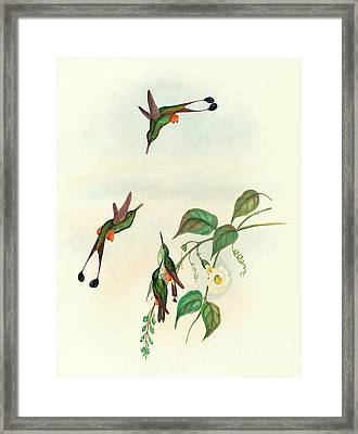 Red Booted Racket Tail Framed Print by John Gould