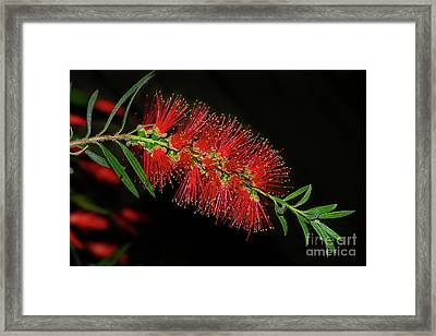 Framed Print featuring the photograph Red Bottlebrush By Kaye Menner by Kaye Menner