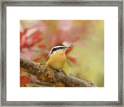 Red Breasted Nuthatch  Framed Print