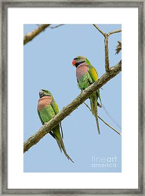 Red-breasted Parakeets, India Framed Print by B. G. Thomson