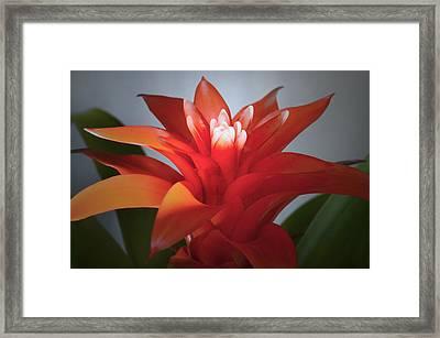 Red Bromeliad Bloom. Framed Print