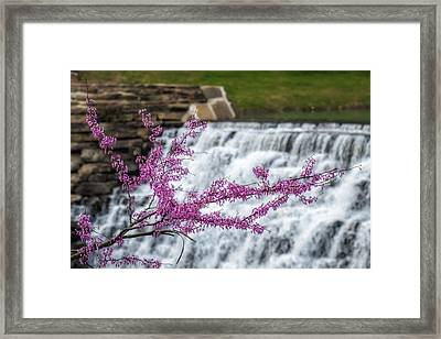 Redbud At Devils Den Framed Print