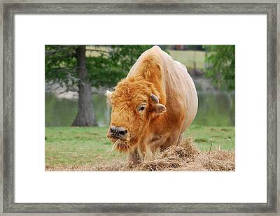 Red Buffalo Framed Print by Teresa Blanton