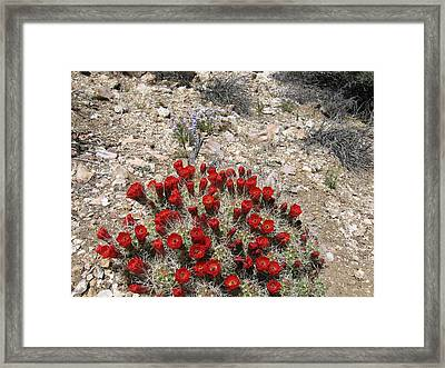 Red Cactus Flowers Framed Print by Joan Taylor-Sullivant