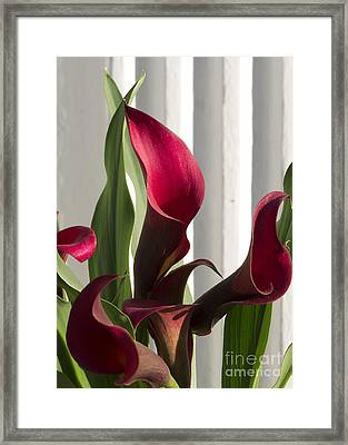 Red Cala Lilies Framed Print
