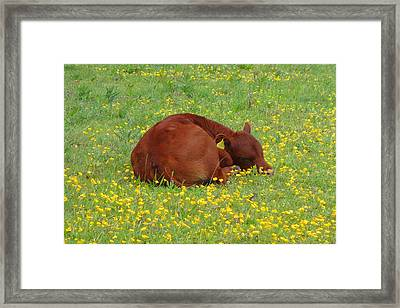 Red Calf In The Buttercup Meadow Framed Print