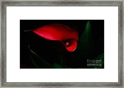 Red Calla Lilly Framed Print by Debra Crank