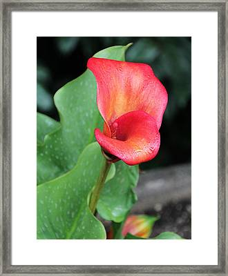 Red Calla Lily Framed Print