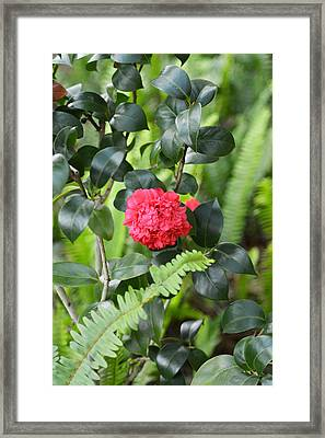 Red Camellia Framed Print by Aimee L Maher Photography and Art Visit ALMGallerydotcom