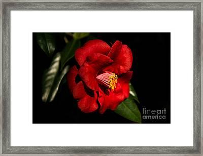 Red Camellia Framed Print
