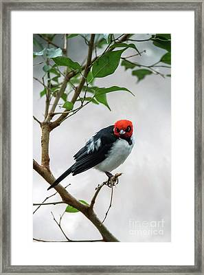 Red Capped Cardinal Framed Print