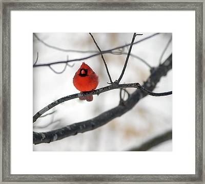 Framed Print featuring the photograph Red Cardinal In Snow by Marie Hicks