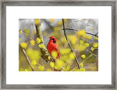 Red Cardinal Among Spring Flowers Framed Print by Charline Xia