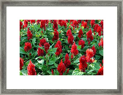 Framed Print featuring the photograph Red Celosia Garden by Glenn McCarthy Art and Photography