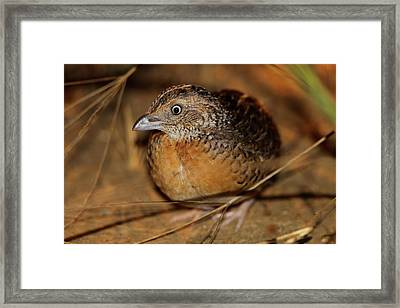 Red-chested Button-quail Framed Print