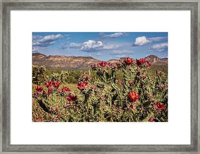 Red Cholla Blooms  Framed Print