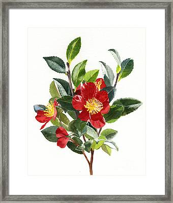 Red Christmas Camellias Framed Print by Sharon Freeman